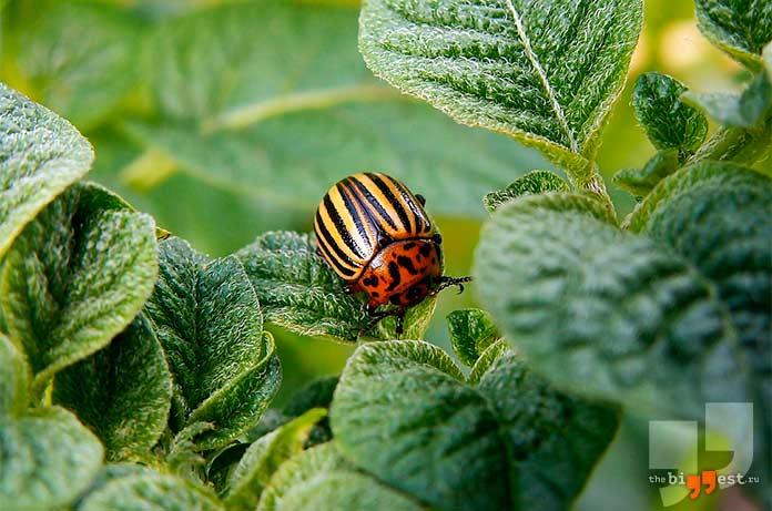 Самые надоедливые насекомые: Колорадский жук. cc0