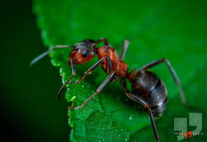 Самые надоедливые насекомые планеты: Муравей. cc0