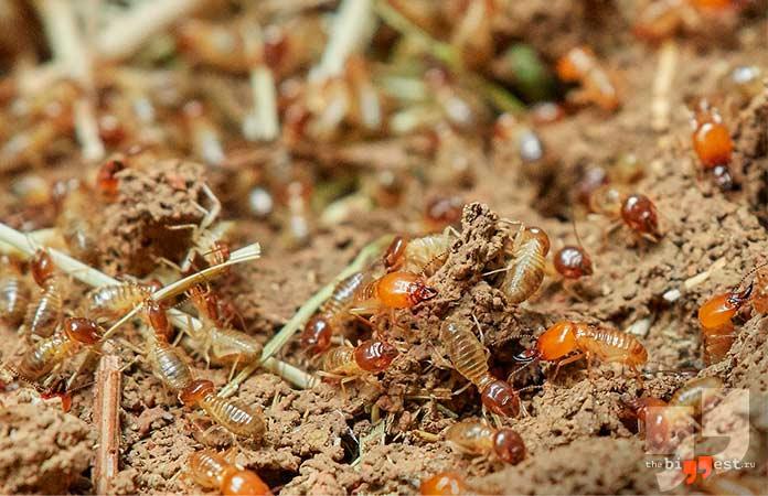 Самые надоедливые насекомые планеты: Термиты. cc0