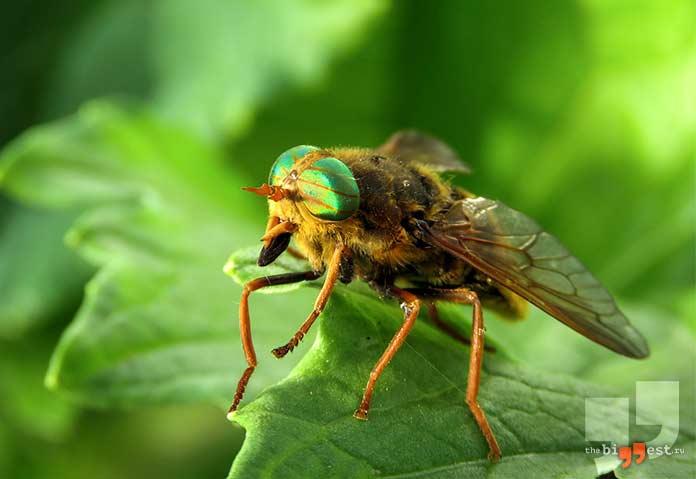 Слепень. Самые надоедливые насекомые. cc0
