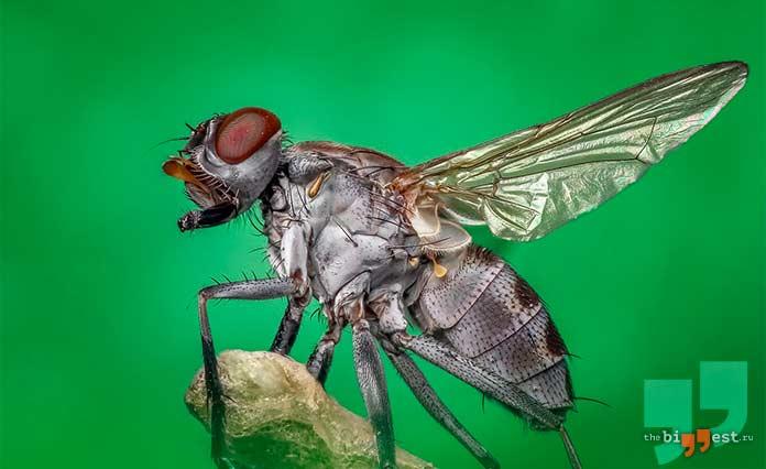 Самые надоедливые насекомые планеты: Муха. cc0