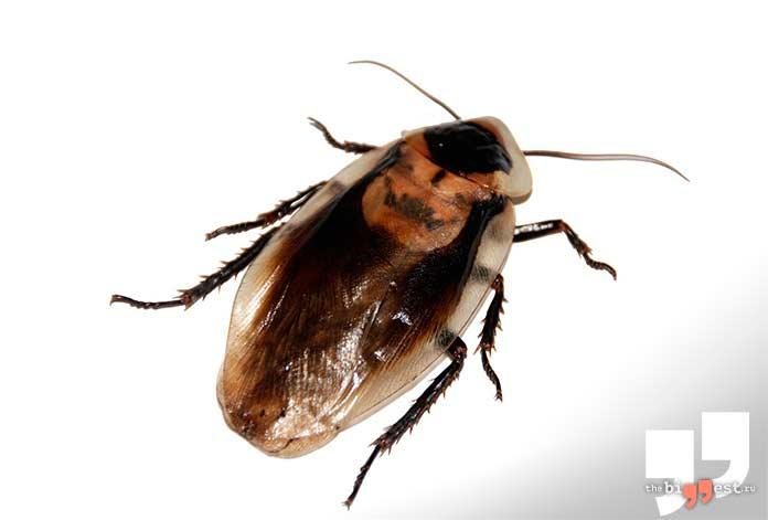 Самые надоедливые насекомые: Танакан. cc0