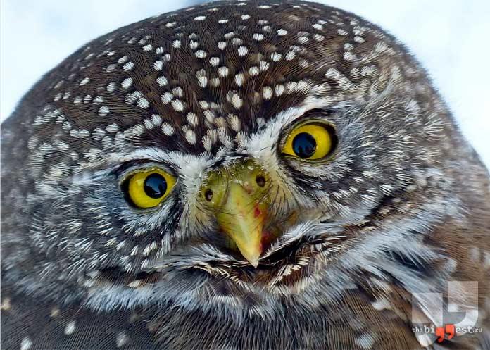 Интересные факты о совах: глаза. cc0