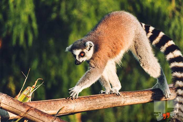 Острова с уникальными животными. Мадагаскар. cc0
