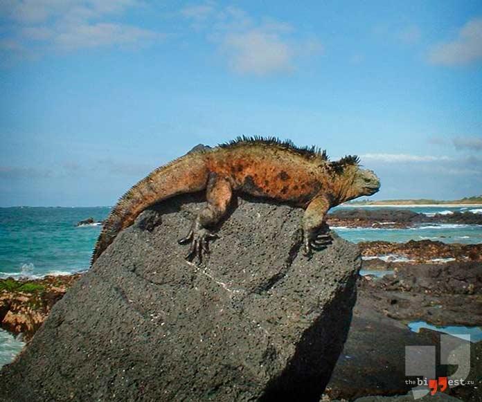 Острова с уникальными животными: Морская игуана. CC0