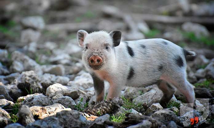 Свинья. CC0
