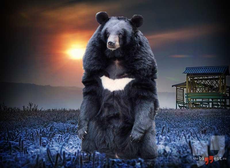 Гималайский медведь сс0