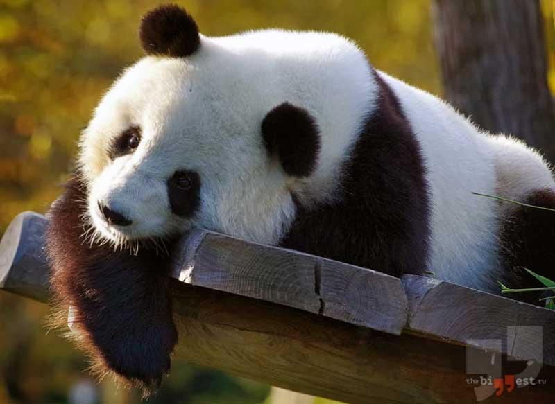 Большая панда сс0
