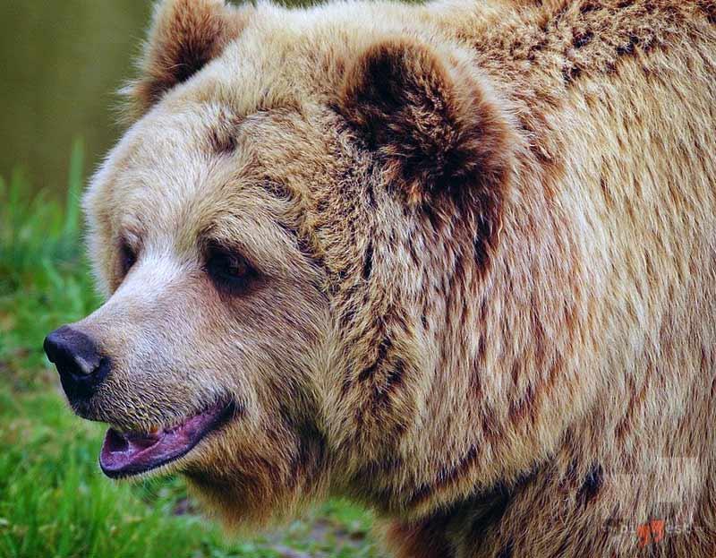 Самые большие медведи сс0