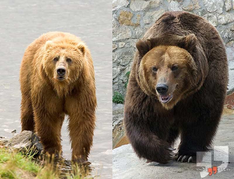 Сибирский бурый медведь сс0