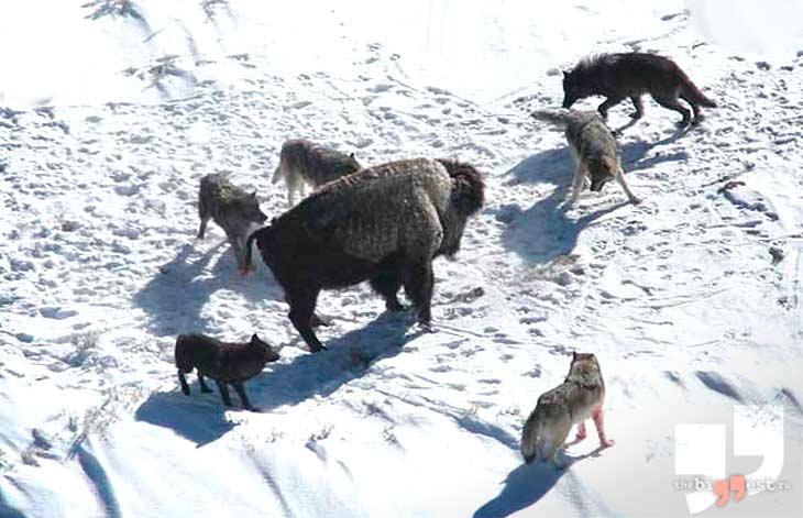 Аляскинский или Юконский Волк. CC0