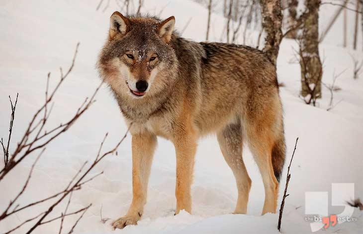 Евразийский волк