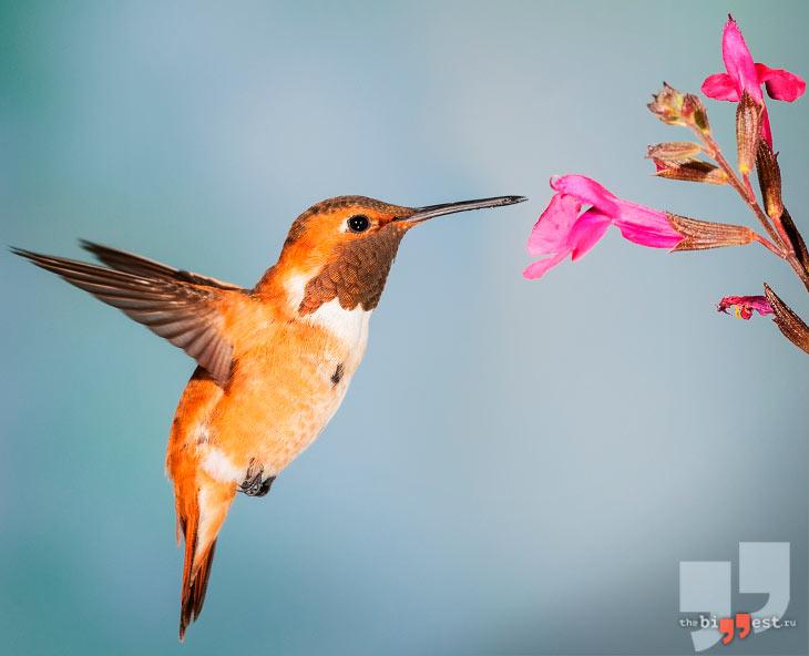 Охристый колибри. CC0
