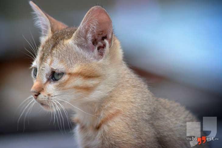 Самые маленькие породы кошек. CC0