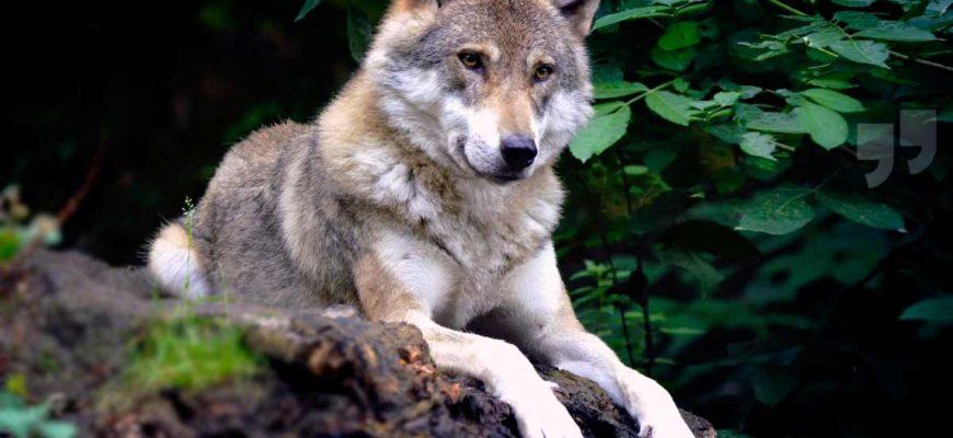 Самые большие волки. CC0