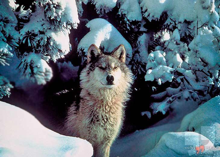 Волк Великих равнин. CC0