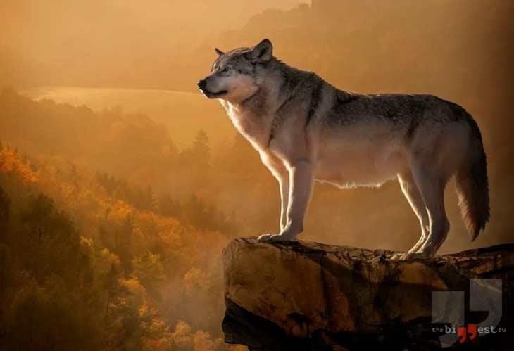 Серый волк. CC0