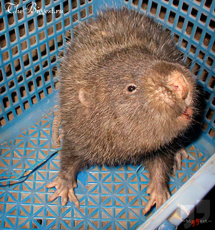Бамбуковая крыса