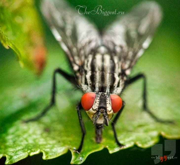 Большая навозная муха. CC0