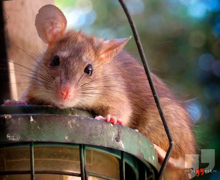 Городская крыса. CC0