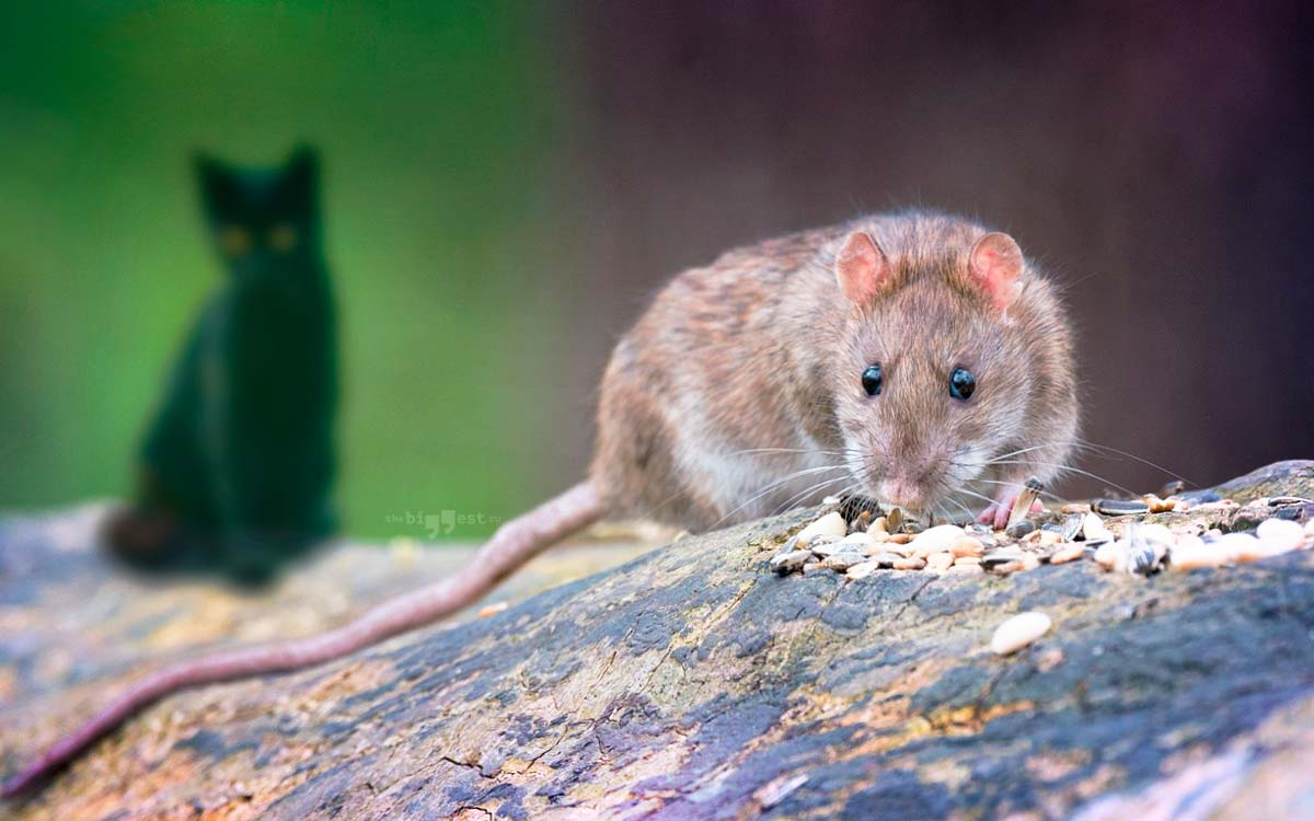 Самые большие крысы. CC0