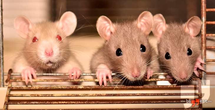 Декоративные Крысы. CC0