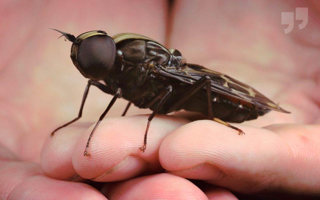 самые большие мухи в мире. CC0
