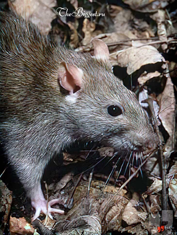 Серая крыса. CC0