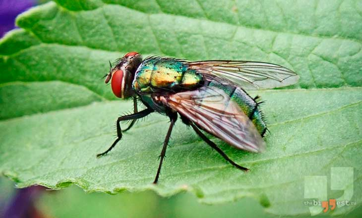 Зелёная муха. CC0