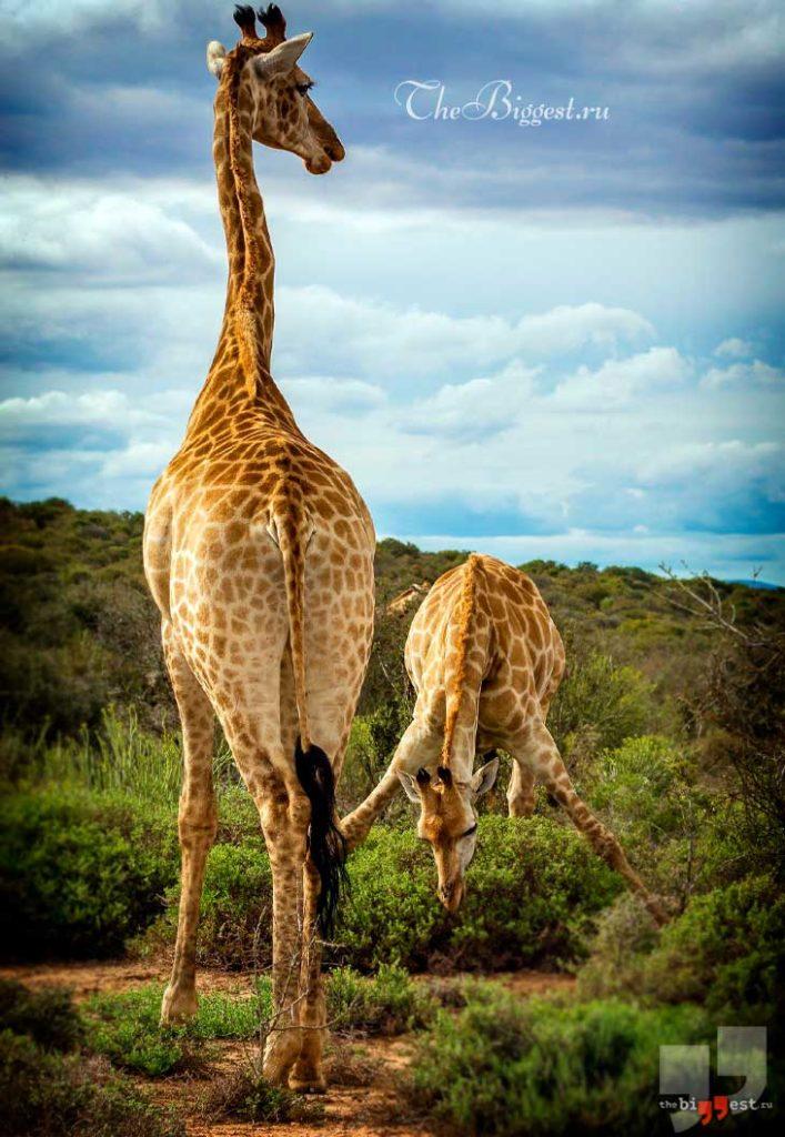 Жираф. CC0
