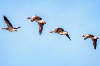 Перелетные птицы. CC0