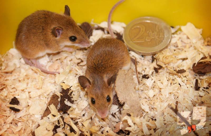 Домовая мышь. CC0