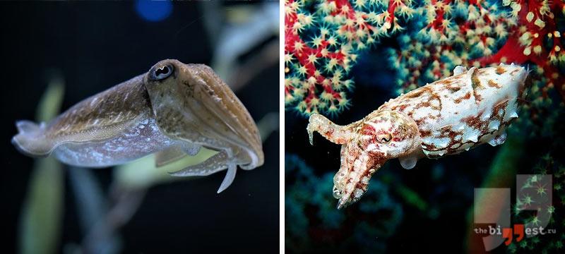 Животные, которые умеют менять цвет своего тела: Каракатица. CC0