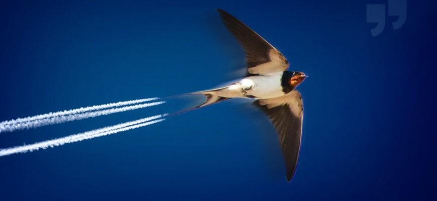 Самые быстрые птицы. CC0