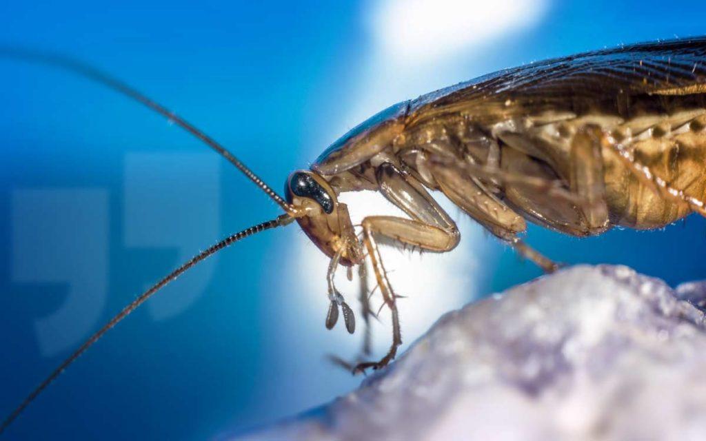 Животные с самой короткой продолжительностью жизни: Таракан. CC0