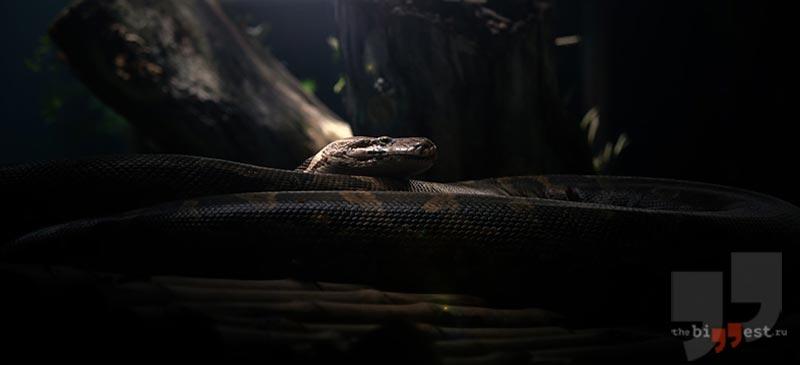 Капуасская грязевая змея. CC0