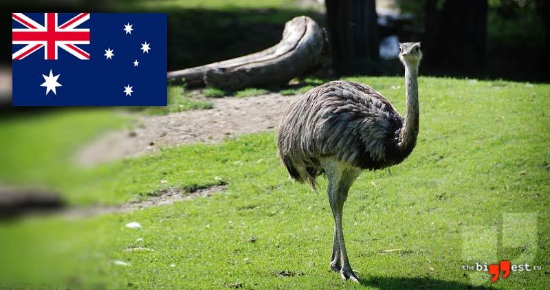 Национальные животные Австралии: Австралийский страус Эму. CC0