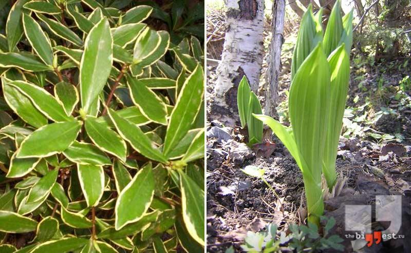 Карантинные сорные растения: . CC0