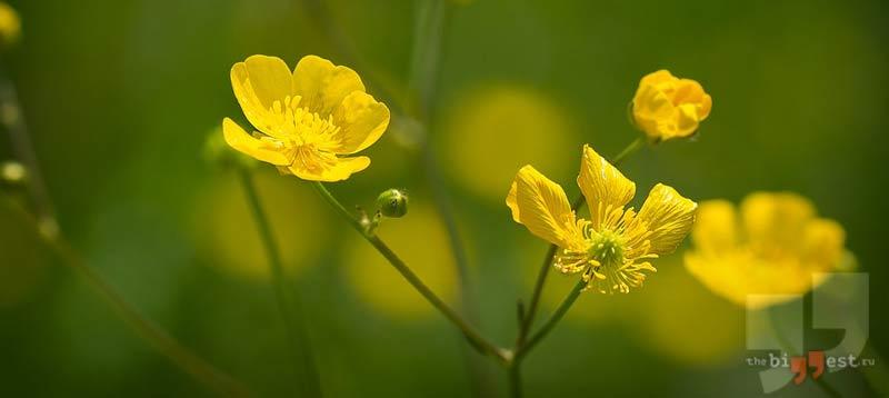 Ranunculus repens. CC0