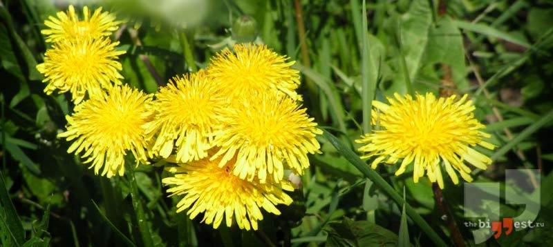 Сорное растение: Одуванчик лекарственный. CC0