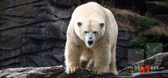 Белый медведь сс0