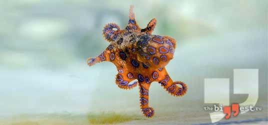 Синекольчатый осьминог сс0