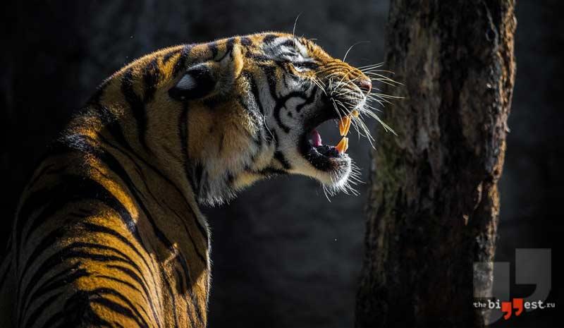 Тигр сс0