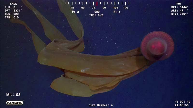Гигантская стигомедуза