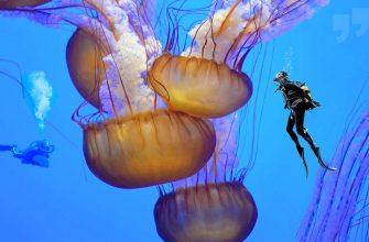 Самые большие медузы сс0